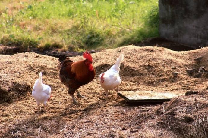 Todos los huevos que venda Eroski en 2024, serán de gallinas libres