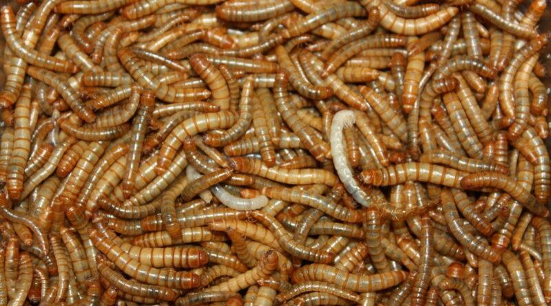 Bruselas autoriza el consumo del gusano de la harina
